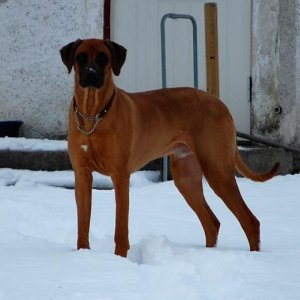 Our Ridgeback Albus Waiting For Some More Snowballs To Be Thrown